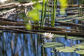 White Water Lily In A Pond. Nymphaea Alba. Beautiful White Water Lily And Tropical Climates. Water L poster