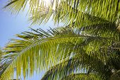 Green Fluffy Palm Leaf On Blue Sky Background. Beautiful Tropical Landscape Photo. Exotic Place For  poster