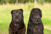 Two big black sharpei dogs sitting in sunny park