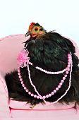 Постер, плакат: Гламурная курица породы Кочин Китай изолирован
