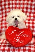 Fifi a Bichon Frise, smiles for the camera with valentine day heart pillows against a red and white checker board background poster