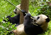 picture of pandas  - Giant panda eating bamboo - JPG