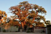 pic of baobab  - The - JPG