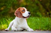 pic of pal  - adorable beagle breed dog outdoors in summer - JPG
