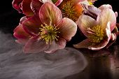 image of lenten  - close up dramatic shot of christmas roses on a dark studio with dry ice fog - JPG
