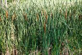 image of cattail  - Cattails and grasses in a wetland marsh