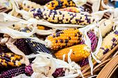 image of corn cob close-up  - A Close up Cheerful and Colorful dried Indian Corn