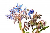 image of borage  - Borage flowers isolated on a white background - JPG