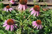 picture of angiosperms  - Purple coneflower flowers in a herb garden - JPG