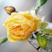 foto of freezing temperatures  - Yellow flower with ice and snow  - JPG