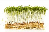 Fresh Garden Cress On White Background