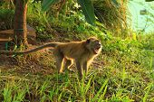 stock photo of south east asia  - long tail monkey scream in the morning - JPG