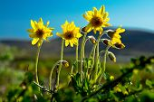 stock photo of chukotka  - Mountain arnica flowers bloom on the tundra of Chukotka - JPG