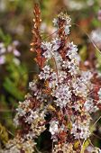 Common Dodder