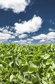 stock photo of soybeans  - Close-up of the green leaves of a soybean plant field under a beautiful blue sky on a summer day