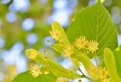 stock photo of linden-tree  - Linden blossoms at tree in spring time - JPG