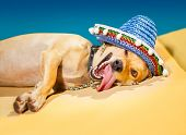 image of mexican-dog  - drunk chihuahua dog having a siesta with crazy and funny silly face - JPG
