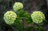 picture of hydrangea  - Three beautiful greenish inflorescences hydrangea - JPG