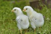 stock photo of banty  - Two Chicks Posing in the green grass - JPG