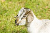 stock photo of baby goat  - Close-up of a cute baby goat Baby Goat