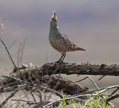stock photo of quail  - Scaled Quail sitting on a branch in a nature preserve - JPG