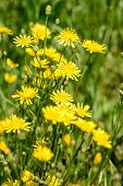 foto of humility  - Closeup of hieracium humile in a meadow under the spring sun - JPG