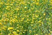 pic of humility  - Hieracium humile in a meadow under the spring sun - JPG