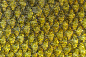 picture of undine  - A macro shot of tench fish scales - JPG