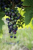 pic of grape-vine  - Grapes growing on the vine - JPG