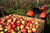 foto of tractor trailer  - Wooden crate of freshly picked apples on a trailer behind a tractor - JPG