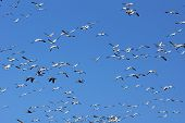 image of snow goose  - Large group of snow geese Chen caerulescens in flight against blue sky - JPG