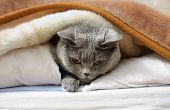 pic of portrait british shorthair cat  - British shorthair cat lying on bed under blanket - JPG