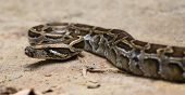 pic of burmese pythons  - Close up of a burmese python on ground - JPG