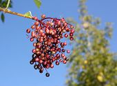 picture of elderberry  - Unripe fruits of elderberry on blue sky background - JPG