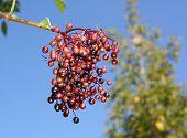 image of elderberry  - Unripe fruits of elderberry on blue sky background - JPG