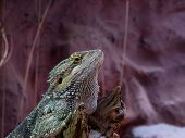stock photo of tuatara  - Reptiles - JPG