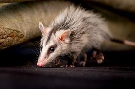 foto of opossum  - andean white eared opossum on a branch zarigueya andina over black background  - JPG