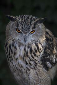 picture of screech-owl  - A screech owl on dark background - JPG
