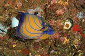 foto of angelfish  - Bluering Angelfish - JPG