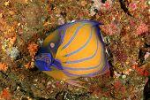 pic of angelfish  - Bluering Angelfish - JPG