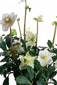 picture of helleborus  - closeup of hellebore flowers and leaves on a white background - JPG