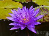 stock photo of species  - The Blue Lotus species of beautiful flower  in Thailand - JPG