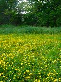 pic of hackney  - Buttercup meadow rural landscape photographed at Hackney Marshes at Newton Abbot in Devon - JPG