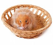 stock photo of hamster  - hamster in a basket isolated on a white background - JPG