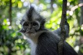 stock photo of gunung  - Langur in a tree grey and white striped  - JPG
