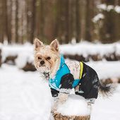 foto of no clothes  - Cute adult Yorkshire Terrier stands in winter clothes in the snow on a stump - JPG