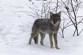 picture of coyote  - A lone Coyote in a winter scene - JPG