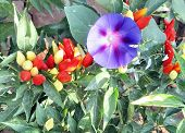 picture of ipomoea  - Red pepper in the vegetable garden and Ipomoea - JPG