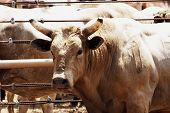 stock photo of brahma-bull  - Bull waiting for his turn in the rodeo arena - JPG