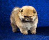 picture of pomeranian  - Portrait of a Pomeranian puppy age of 15 month over blue background